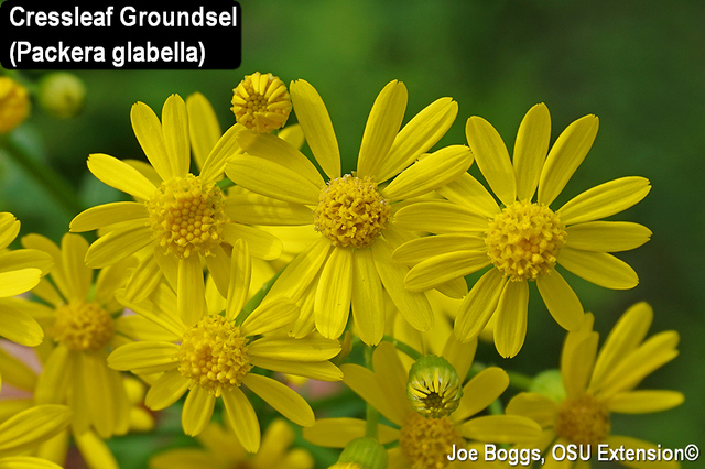 ​​​​Cressleaf Groundsel