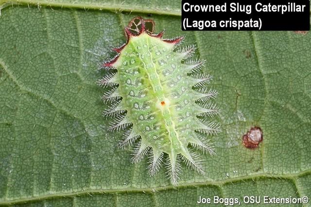 Crowned Slug Caterpillar