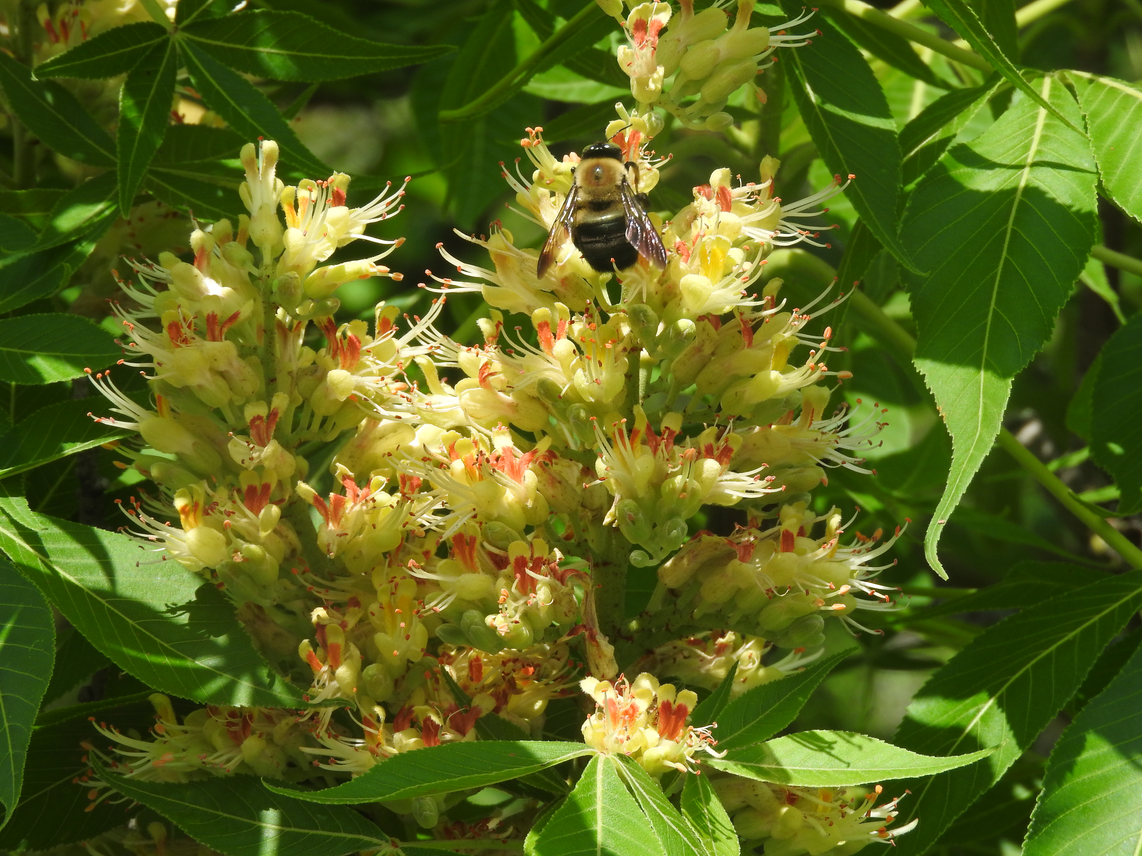 Flower of the Ohio Buckeye