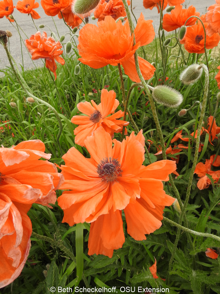 oriental poppy patch