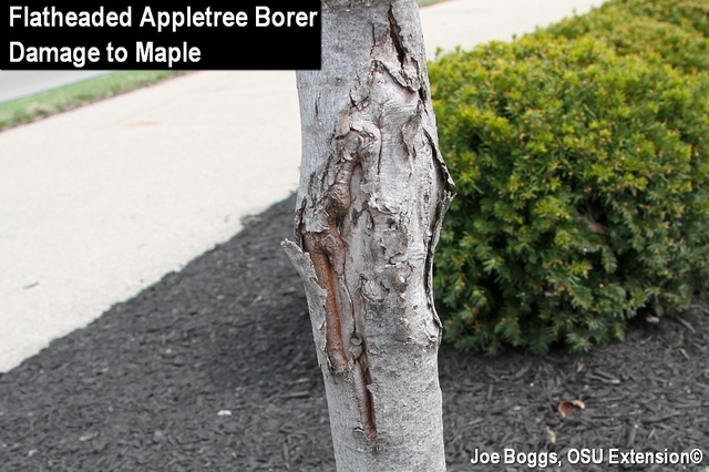 Flatheaded Appletree Damage
