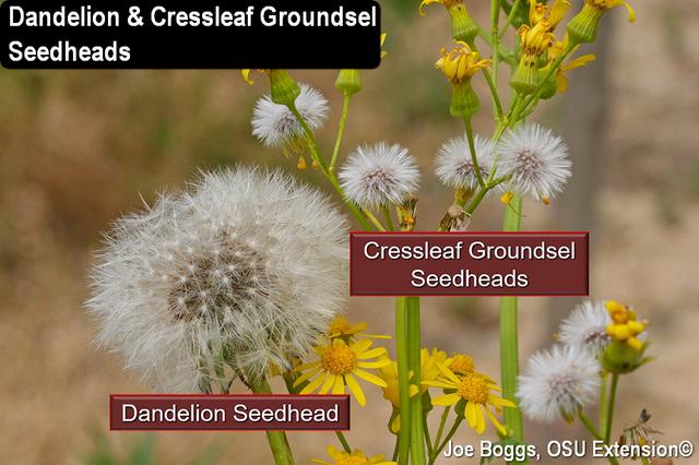 Cressleaf Groundsel