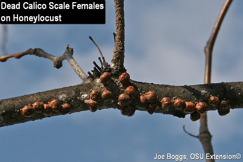 Dead Calico Scale Females