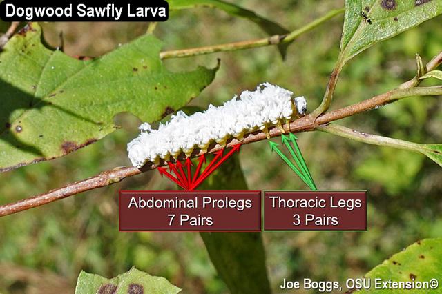 Dogwood Sawfly