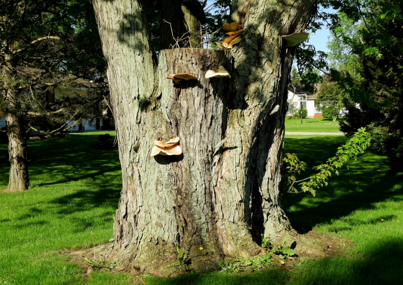 Numerous Dryad's saddle polypores on a landscape tree