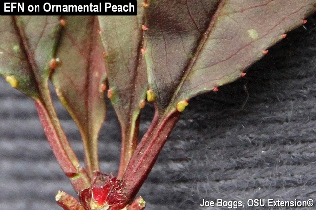 Extrafloral Nectaries on Ornamental Peach