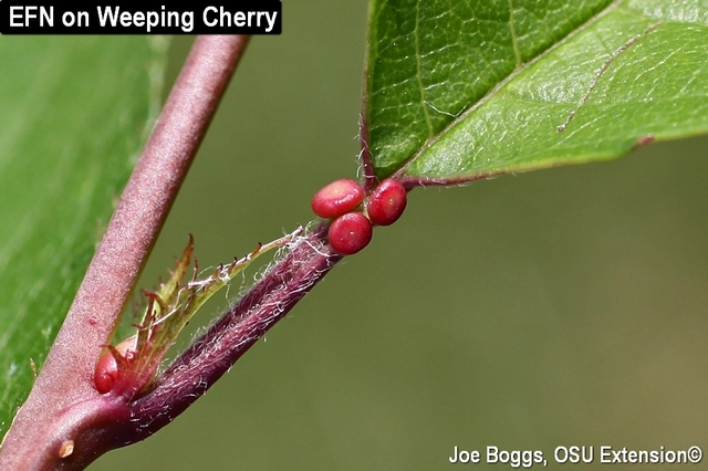 Extrafloral Nectaries Cherry