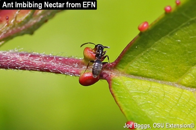 Extrafloral Nectaries with Ant