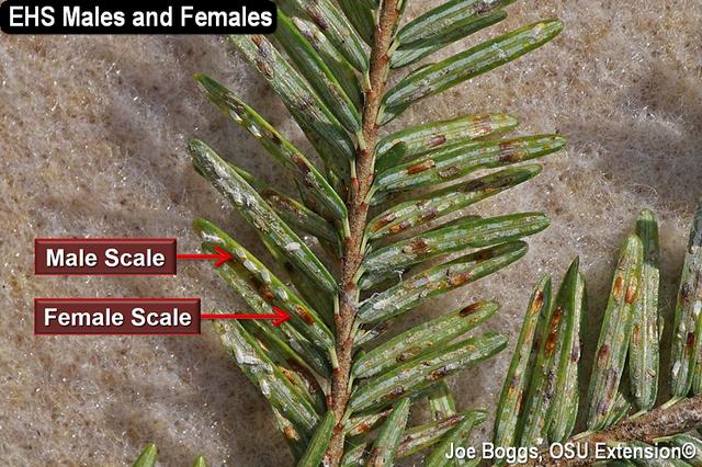Elongate Hemlock Scale