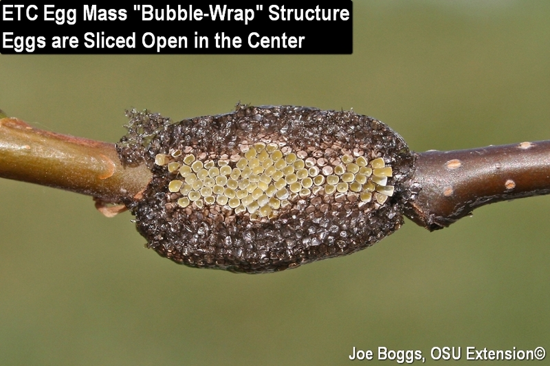 Eastern Tent Caterpillar Egg Mass