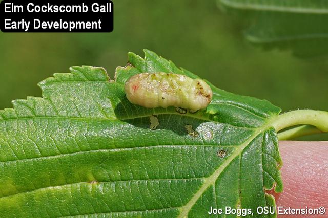 Elm Cockscomb Gall