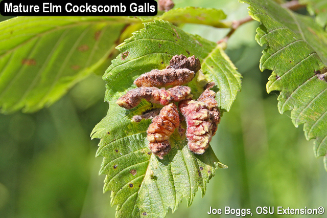 Elm Cockscomb Galls