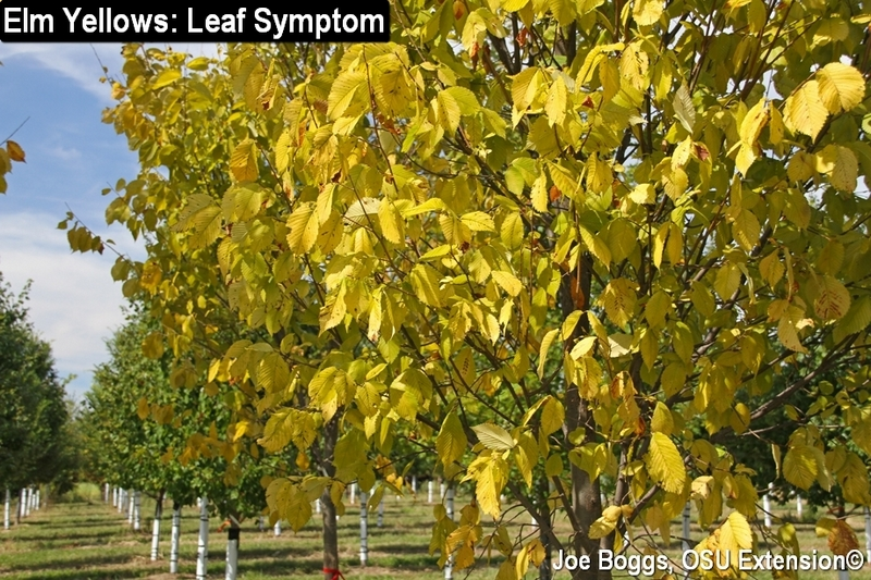 Elm Yellows