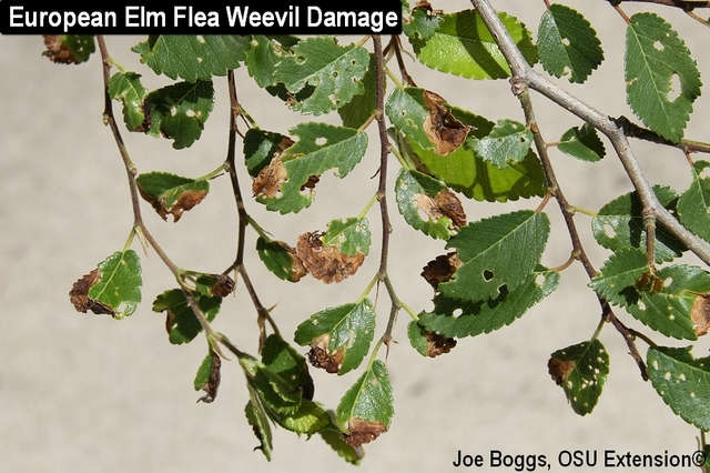 European Elm Flea Weevil Damage