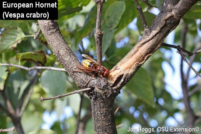 European Hornet