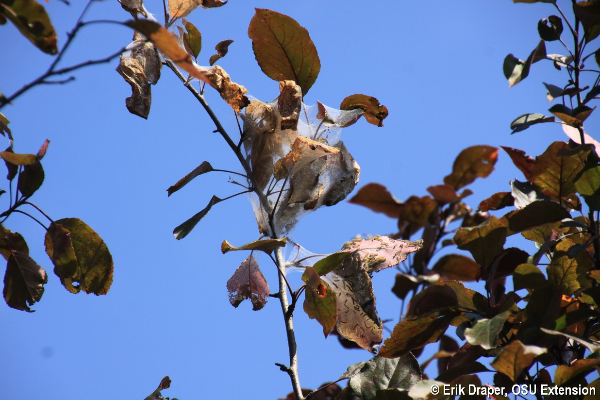 Fall Webworm feeding on 'Thunderchild' crabapple
