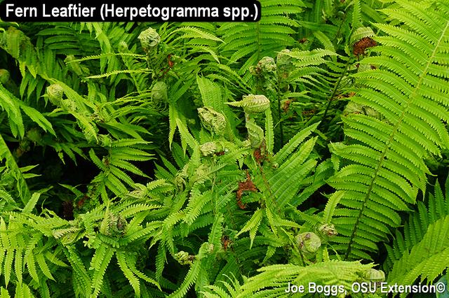 Fern Leaftier