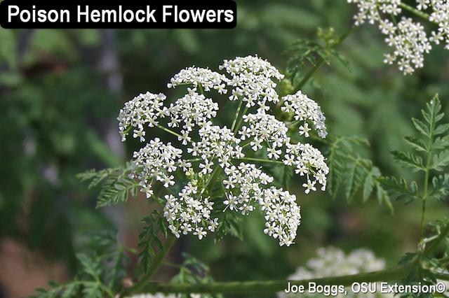 Poison Hemlock