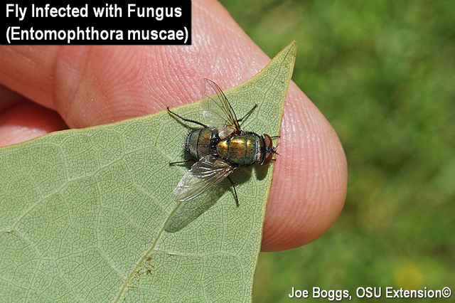 Fly Fungus Entomophthora muscae