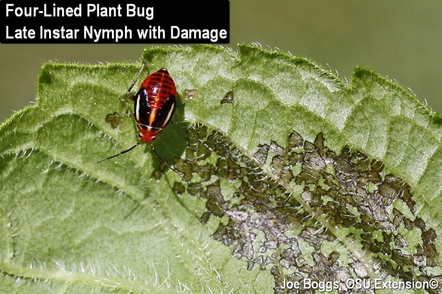 Four-Lined Plant Bug