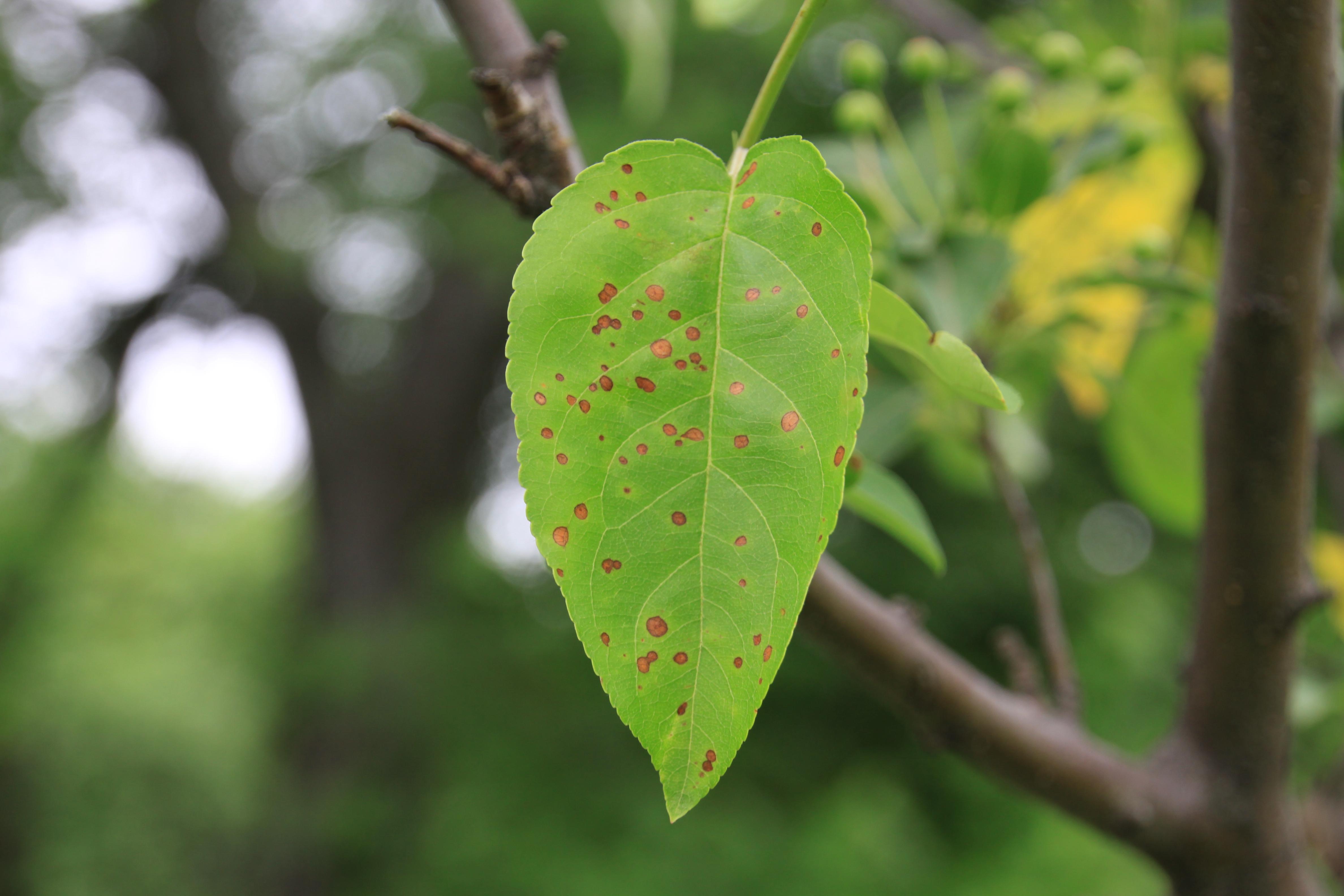 Frogeye leaf spot on crabapple