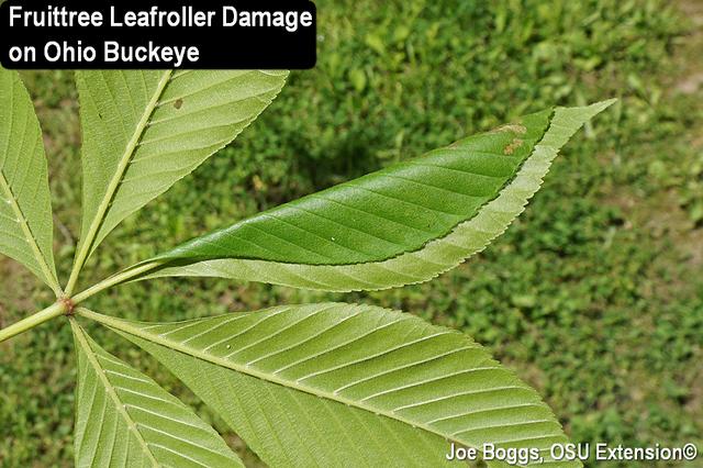 Fruittree Leafroller on Buckeye