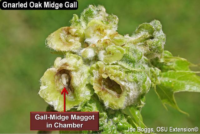 Gnarled Oak Midge Gall