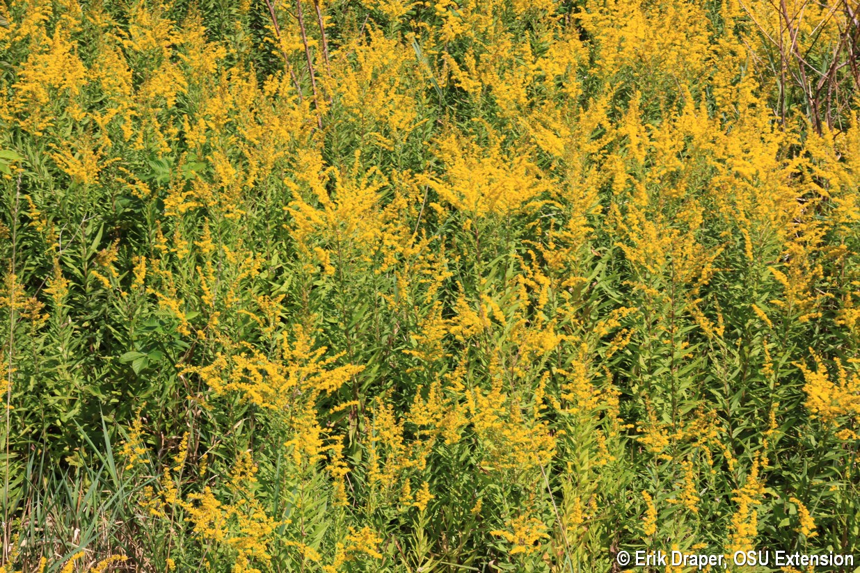 Goldenrod on a hillside