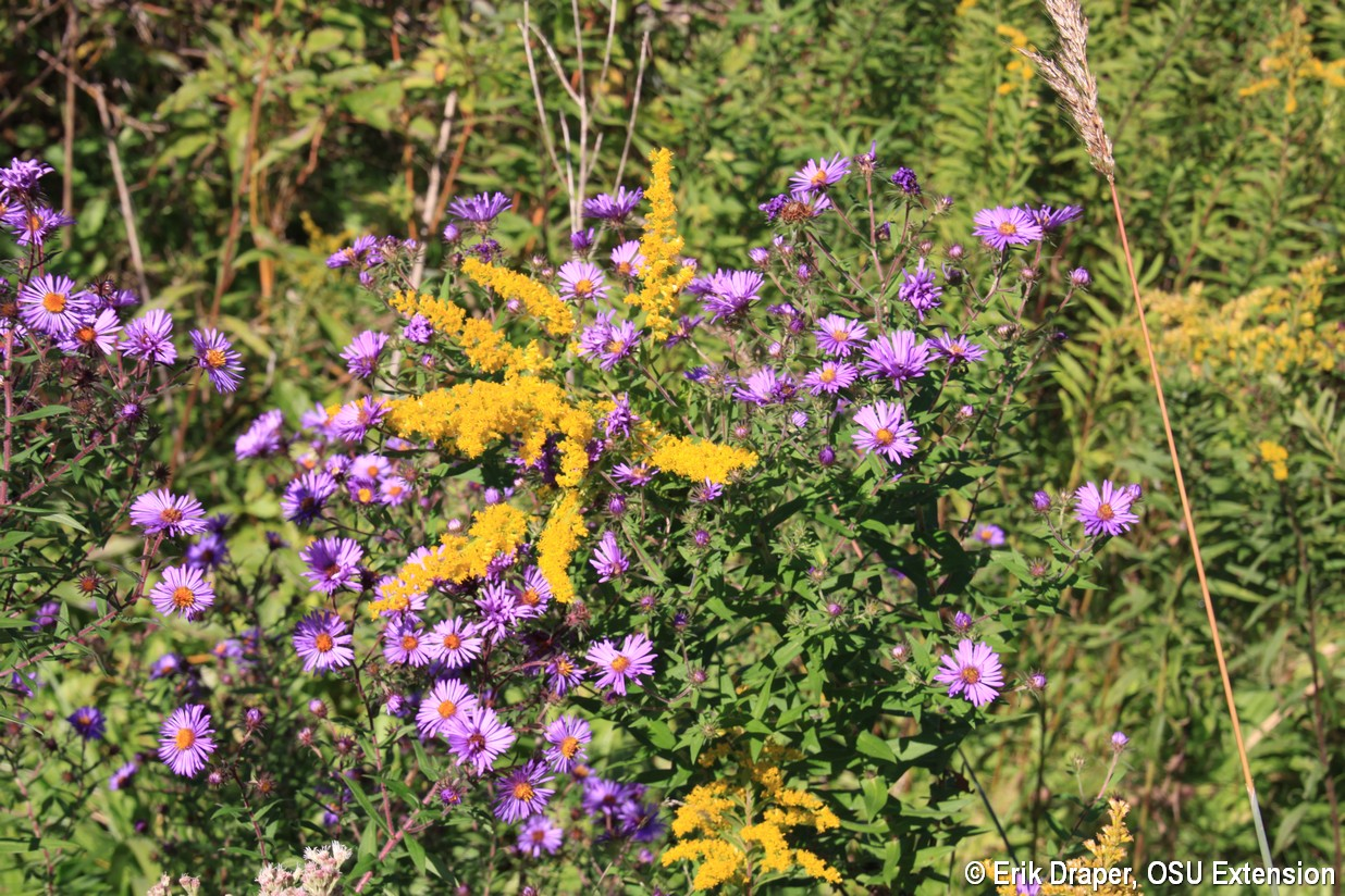 Goldenrod scattered through New England Aster