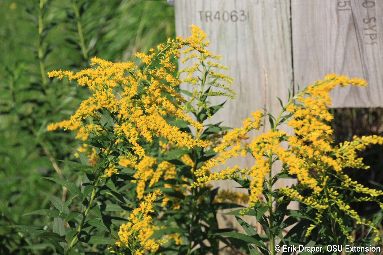Goldenrod in waste places