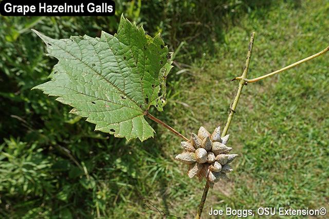 Grape Hazelnut Galls