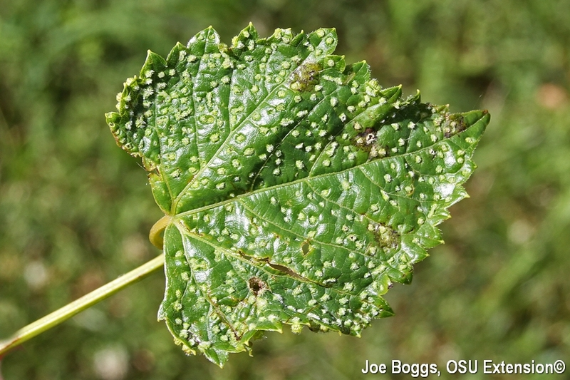 Grape Phylloxera Leaf Galls