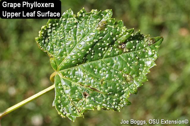 Grape Phylloxera