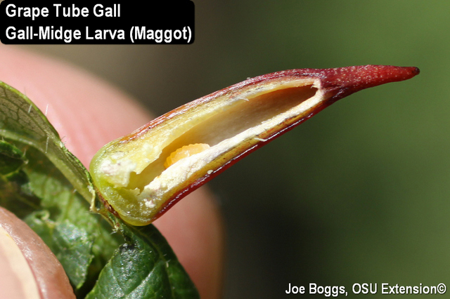 Grape Tube Gall