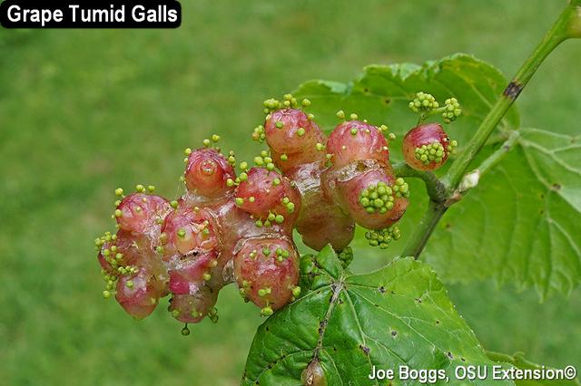 Grape tumid galls