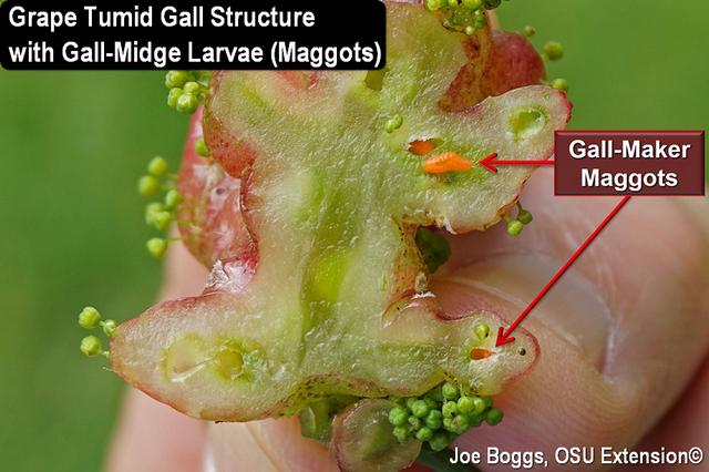 Grape Tumid Gall