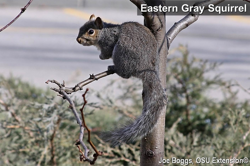 grey squirrel essay Onekindplanet animal facts, education & inspiration  amazing facts about the squirrel  tree-dwelling squirrels such as the grey squirrel build dreys.