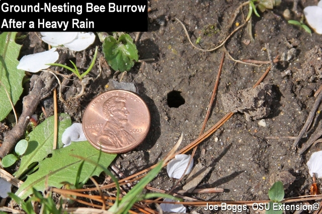 Ground-Nesting Bee Burrows