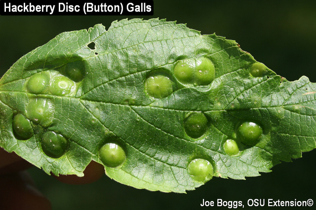 Hackberry Disc Galls