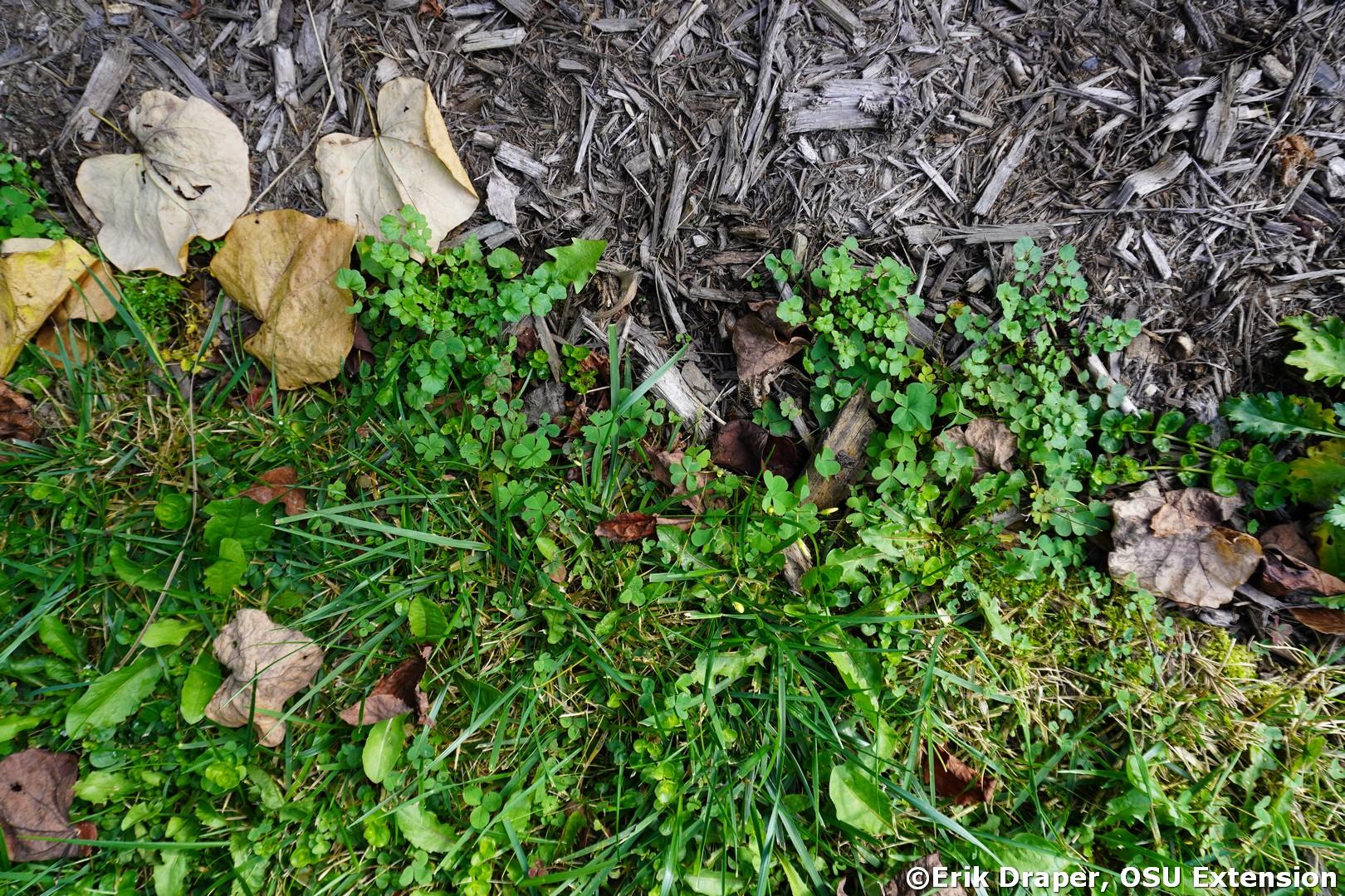 Hairy Bittercress, Cardamine hirsuta young seedling plants