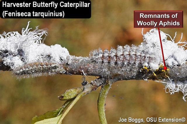 Harvester Butterfly Caterpillar