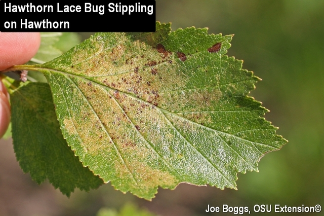 Lace bug damage