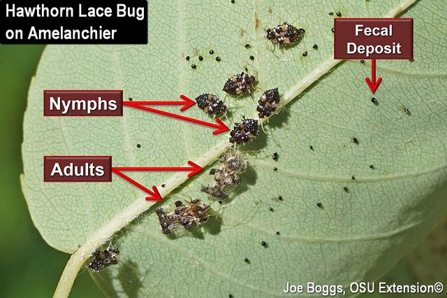 Lace Bugs