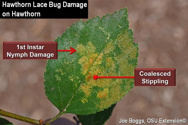 Hawthorn Lace Bug