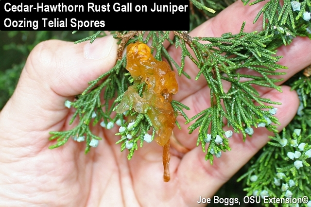 Cedar-Hawthorn Rust with Oozing Telial Sports