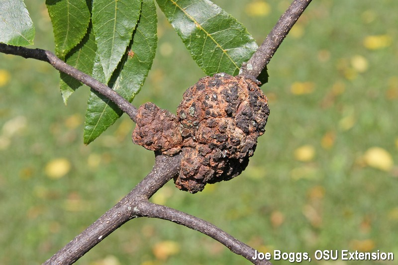 Hickory Phomopsis Gall