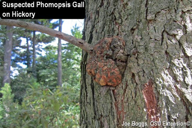 Phomopsis Gall
