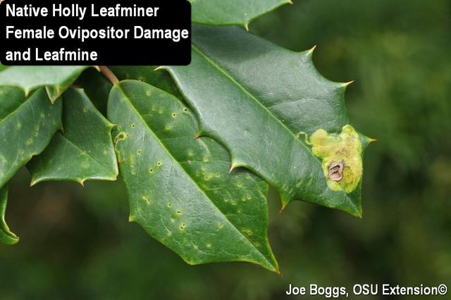 Native Holly Leafminer