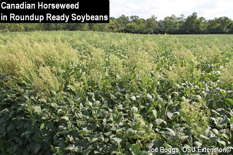 Canadian Horseweed