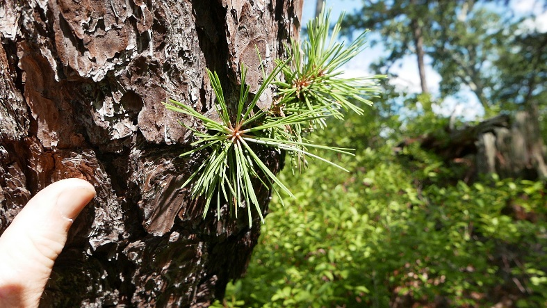 needles of loblolly pine